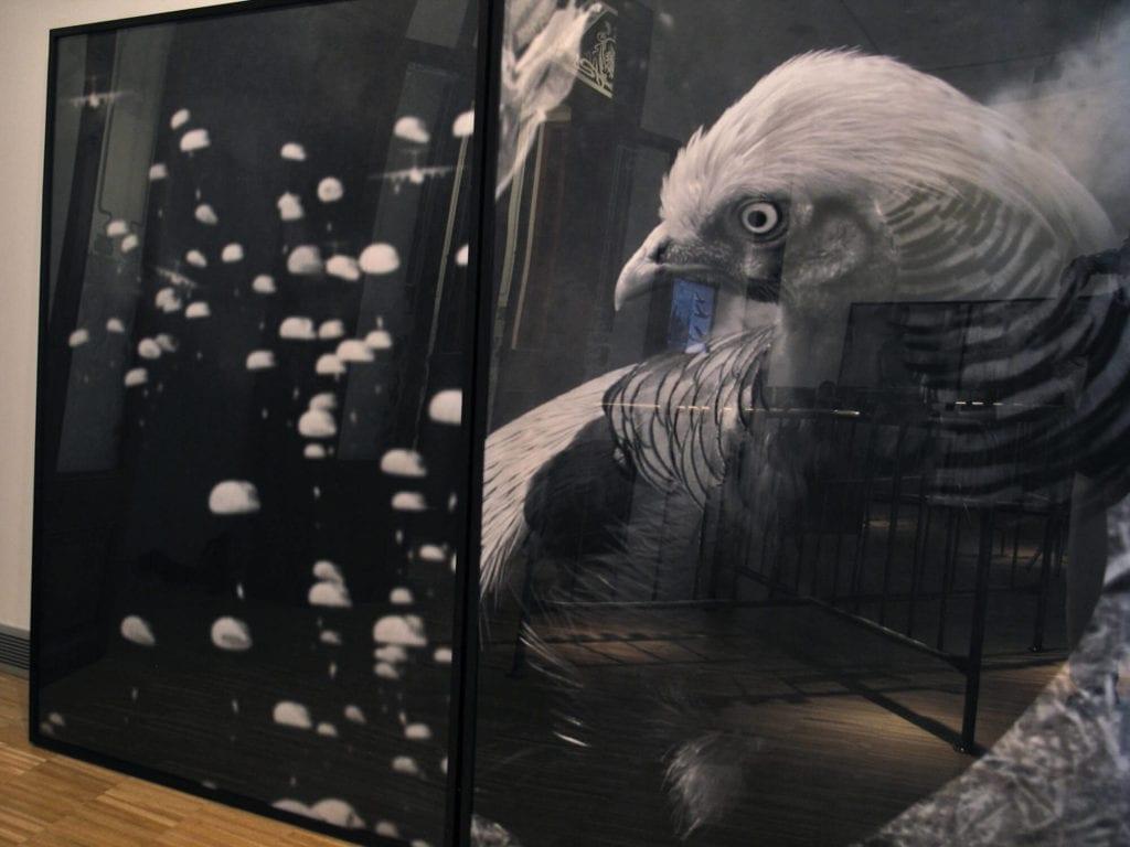 Toni Giró, Parejas indomables. Golden Pheasant. (2011)